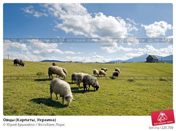 Овцы (Карпаты, Украина), фото № 225709, снято 29 сентября 2007 г. (c) Юрий Брыкайло / Фотобанк Лори