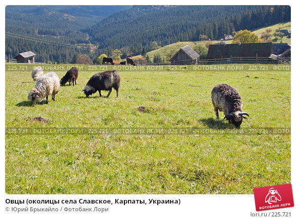 Овцы (околицы села Славское, Карпаты, Украина), фото № 225721, снято 29 сентября 2007 г. (c) Юрий Брыкайло / Фотобанк Лори