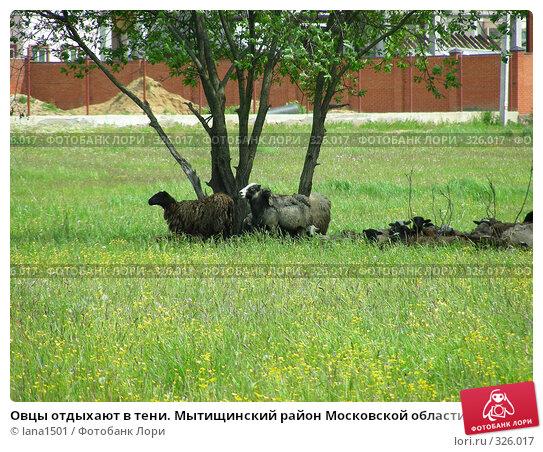 Овцы отдыхают в тени. Мытищинский район Московской области, эксклюзивное фото № 326017, снято 9 июня 2008 г. (c) lana1501 / Фотобанк Лори