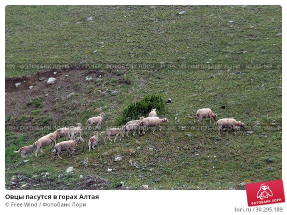 Купить «Овцы пасутся в горах Алтая», фото № 30295189, снято 8 июня 2018 г. (c) Free Wind / Фотобанк Лори
