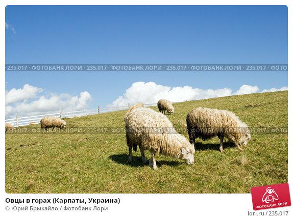 Овцы в горах (Карпаты, Украина), фото № 235017, снято 29 сентября 2007 г. (c) Юрий Брыкайло / Фотобанк Лори