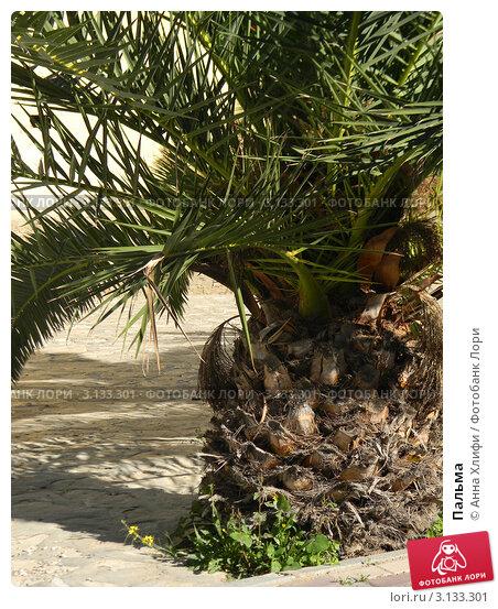 Пальма. Стоковое фото, фотограф Анна Хлифи / Фотобанк Лори