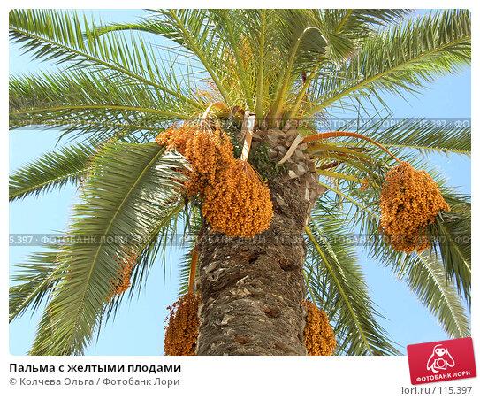 Пальма с желтыми плодами, фото № 115397, снято 21 сентября 2007 г. (c) Колчева Ольга / Фотобанк Лори