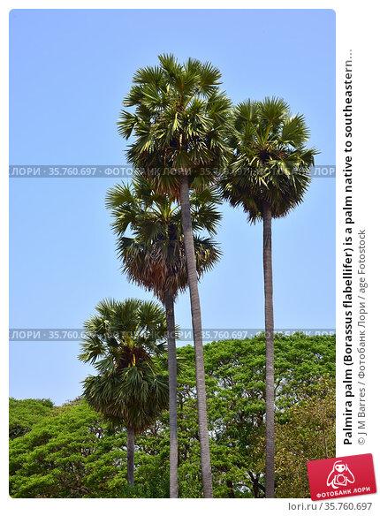 Palmira palm (Borassus flabellifer) is a palm native to southeastern... Стоковое фото, фотограф J M Barres / age Fotostock / Фотобанк Лори