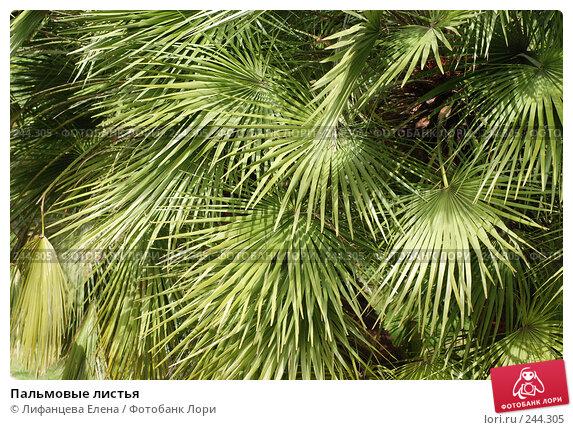 Пальмовые листья, фото № 244305, снято 24 марта 2008 г. (c) Лифанцева Елена / Фотобанк Лори