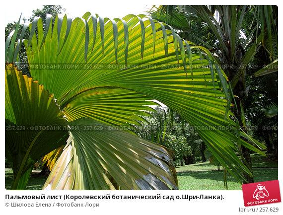 Пальмовый лист (Королевский ботанический сад о.Шри-Ланка)., фото № 257629, снято 24 мая 2017 г. (c) Шилова Елена / Фотобанк Лори
