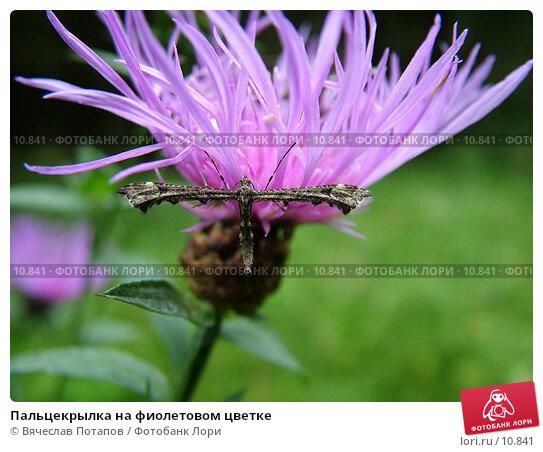 Пальцекрылка на фиолетовом цветке, фото № 10841, снято 11 сентября 2004 г. (c) Вячеслав Потапов / Фотобанк Лори
