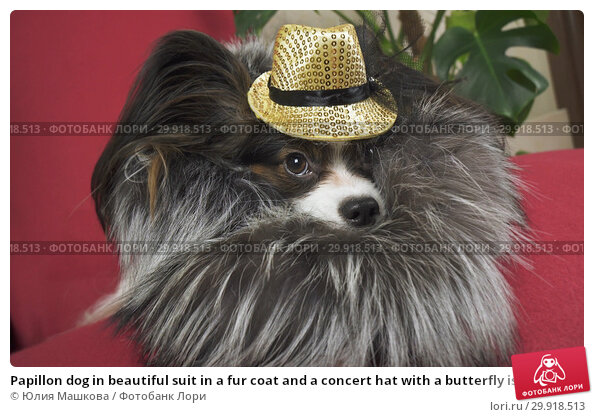 Купить «Papillon dog in beautiful suit in a fur coat and a concert hat with a butterfly is removed in the clip», фото № 29918513, снято 17 февраля 2019 г. (c) Юлия Машкова / Фотобанк Лори