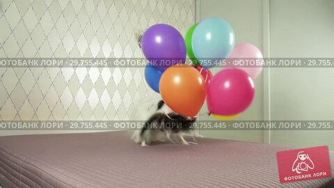 Купить «Papillon dog runs with a multicolored balloons in his teeth slow motion stock footage video», видеоролик № 29755445, снято 16 января 2019 г. (c) Юлия Машкова / Фотобанк Лори