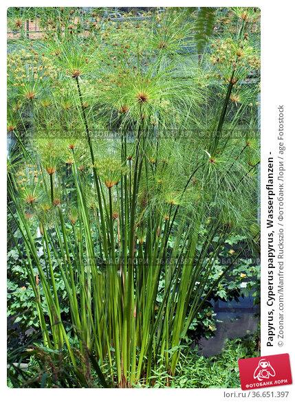 Papyrus, Cyperus papyrus, Wasserpflanzen - Стоковое фото, фотограф Zoonar.com/Manfred Ruckszio / age Fotostock / Фотобанк Лори