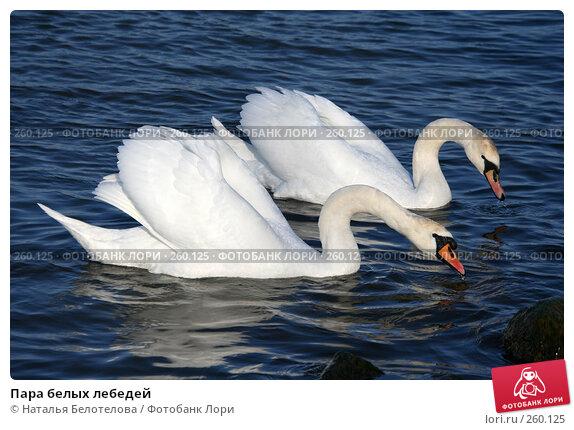 Купить «Пара белых лебедей», фото № 260125, снято 29 марта 2008 г. (c) Наталья Белотелова / Фотобанк Лори