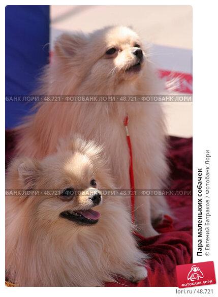Пара маленьких собачек, фото № 48721, снято 19 мая 2007 г. (c) Евгений Батраков / Фотобанк Лори