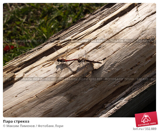 Пара стрекоз, фото № 332889, снято 24 сентября 2005 г. (c) Максим Пименов / Фотобанк Лори