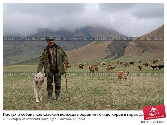 Пастух и собака кавказский волкодав охраняет стадо коров в горах Дагестана, фото № 251685, снято 15 мая 2007 г. (c) Виктор Филиппович Погонцев / Фотобанк Лори