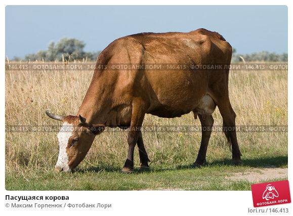 Пасущаяся корова, фото № 146413, снято 18 сентября 2006 г. (c) Максим Горпенюк / Фотобанк Лори