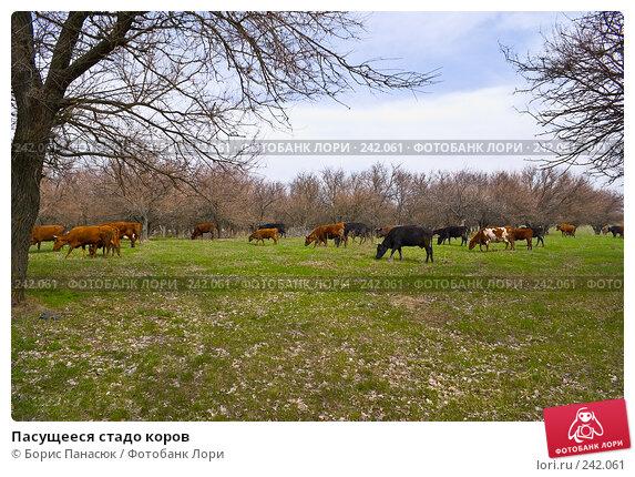 Пасущееся стадо коров, фото № 242061, снято 29 марта 2008 г. (c) Борис Панасюк / Фотобанк Лори