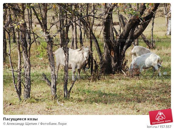 Пасущиеся козы, эксклюзивное фото № 157557, снято 24 сентября 2007 г. (c) Александр Щепин / Фотобанк Лори
