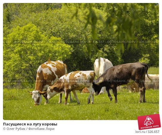 Пасущиеся на лугу коровы, фото № 326657, снято 8 июня 2008 г. (c) Олег Рубик / Фотобанк Лори