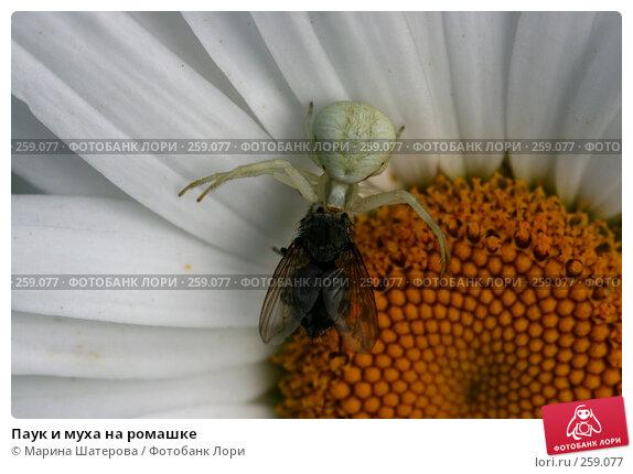 Купить «Паук и муха на ромашке», фото № 259077, снято 15 июля 2007 г. (c) Марина Шатерова / Фотобанк Лори