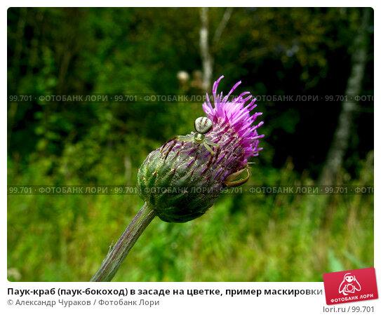 Паук-краб (паук-бокоход) в засаде на цветке, пример маскировки, фото № 99701, снято 22 августа 2005 г. (c) Александр Чураков / Фотобанк Лори