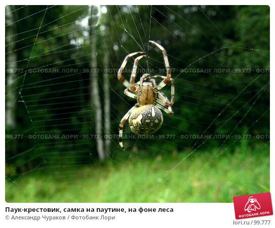 Паук-крестовик, самка на паутине, на фоне леса, фото № 99777, снято 17 августа 2005 г. (c) Александр Чураков / Фотобанк Лори