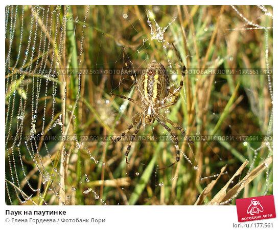 Паук на паутинке, фото № 177561, снято 22 июля 2017 г. (c) Елена Гордеева / Фотобанк Лори