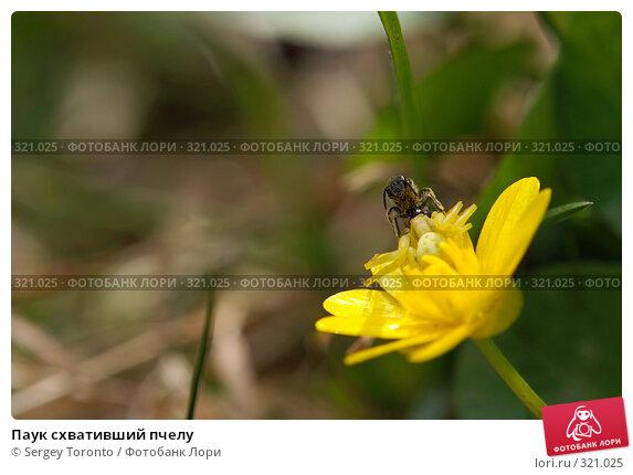 Паук схвативший пчелу, фото № 321025, снято 1 мая 2008 г. (c) Sergey Toronto / Фотобанк Лори
