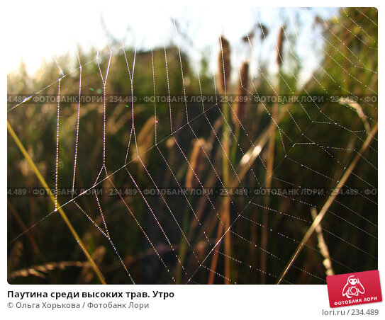 Паутина среди высоких трав. Утро, фото № 234489, снято 8 августа 2007 г. (c) Ольга Хорькова / Фотобанк Лори