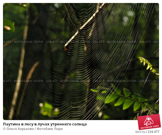 Паутина в лесу в лучах утреннего солнца, фото № 234477, снято 7 августа 2007 г. (c) Ольга Хорькова / Фотобанк Лори