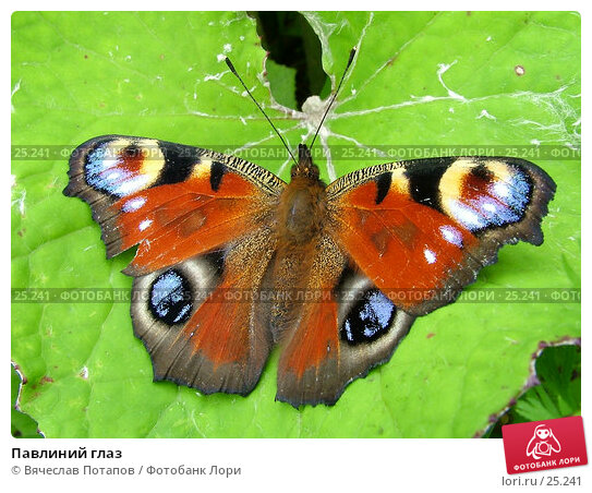Павлиний глаз, фото № 25241, снято 15 июля 2004 г. (c) Вячеслав Потапов / Фотобанк Лори