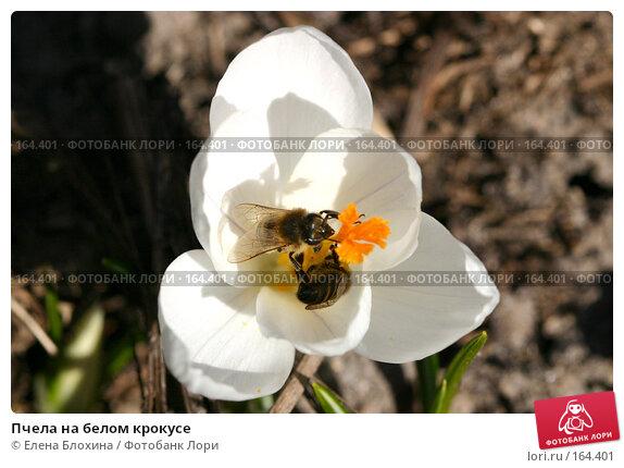 Пчела на белом крокусе, фото № 164401, снято 27 марта 2007 г. (c) Елена Блохина / Фотобанк Лори