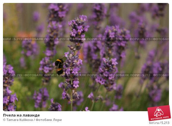 Пчела на лаванде, фото № 5213, снято 8 июля 2006 г. (c) Tamara Kulikova / Фотобанк Лори