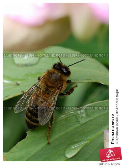 Пчела на листе, фото № 68597, снято 3 июля 2007 г. (c) Крупнов Денис / Фотобанк Лори