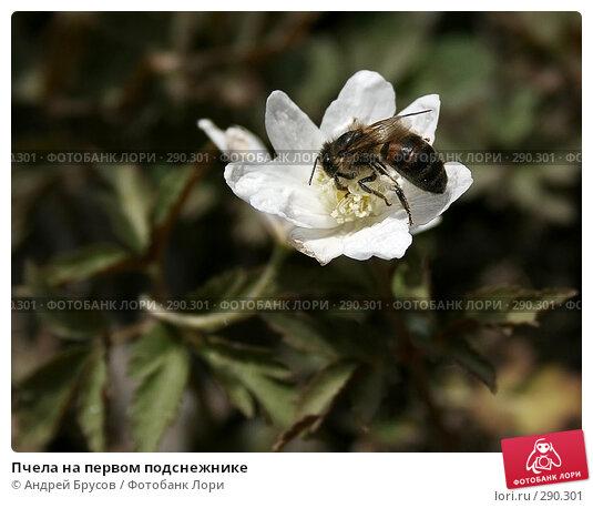 Пчела на первом подснежнике, фото № 290301, снято 20 апреля 2008 г. (c) Андрей Брусов / Фотобанк Лори