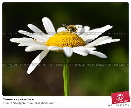 Пчела на ромашке. Стоковое фото, фотограф Дмитрий Кравченко / Фотобанк Лори
