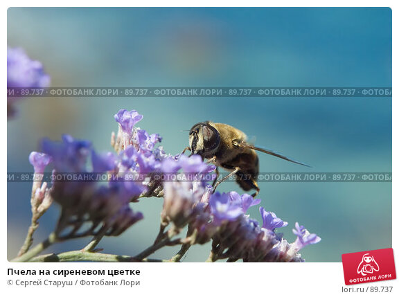 Пчела на сиреневом цветке, фото № 89737, снято 3 августа 2007 г. (c) Сергей Старуш / Фотобанк Лори