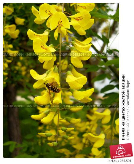 Пчела на цветах желтой акации, фото № 265501, снято 27 апреля 2008 г. (c) Евгений Головко / Фотобанк Лори