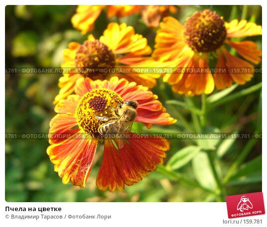 Пчела на цветке, фото № 159781, снято 22 августа 2007 г. (c) Владимир Тарасов / Фотобанк Лори