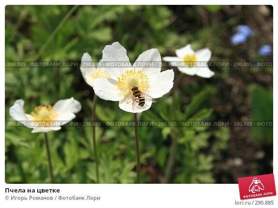 Пчела на цветке, фото № 290885, снято 11 мая 2008 г. (c) Игорь Романов / Фотобанк Лори
