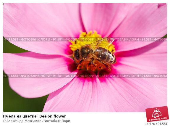 Пчела на цветке   Bee on flower, фото № 91581, снято 23 сентября 2006 г. (c) Александр Максимов / Фотобанк Лори