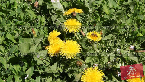Купить «Пчела на цветке одуванчика», видеоролик № 27380049, снято 30 апреля 2017 г. (c) Олег Хархан / Фотобанк Лори