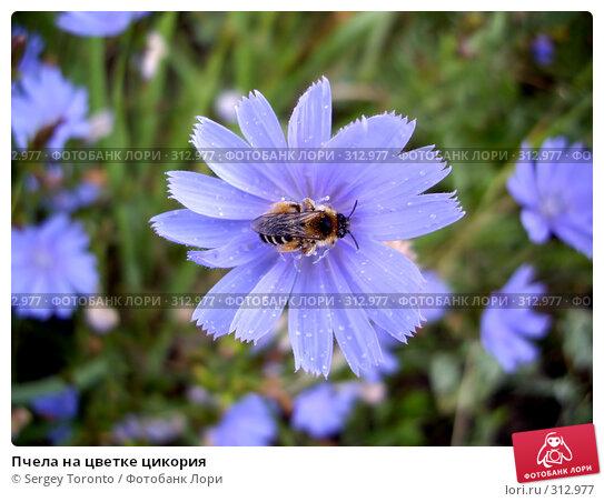 Пчела на цветке цикория, фото № 312977, снято 5 августа 2007 г. (c) Sergey Toronto / Фотобанк Лори