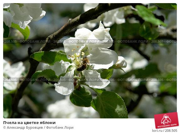 Пчела на цветке яблони, фото № 208505, снято 20 мая 2007 г. (c) Александр Буровцев / Фотобанк Лори