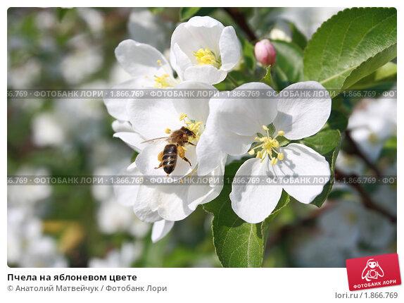 Пчела на яблоневом цвете, эксклюзивное фото № 1866769, снято 16 мая 2010 г. (c) Анатолий Матвейчук / Фотобанк Лори