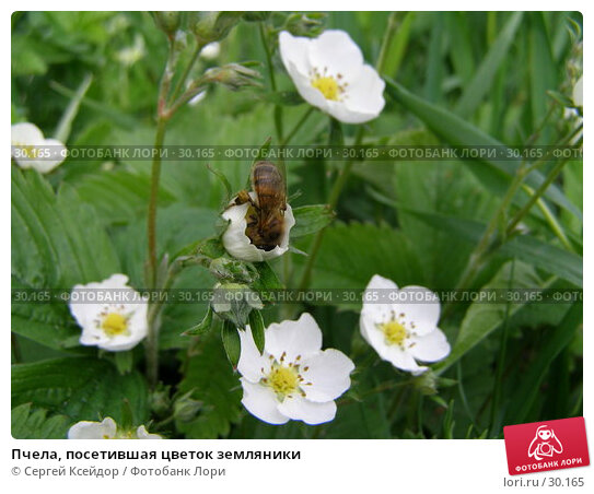 Пчела, посетившая цветок земляники, фото № 30165, снято 4 июня 2006 г. (c) Сергей Ксейдор / Фотобанк Лори