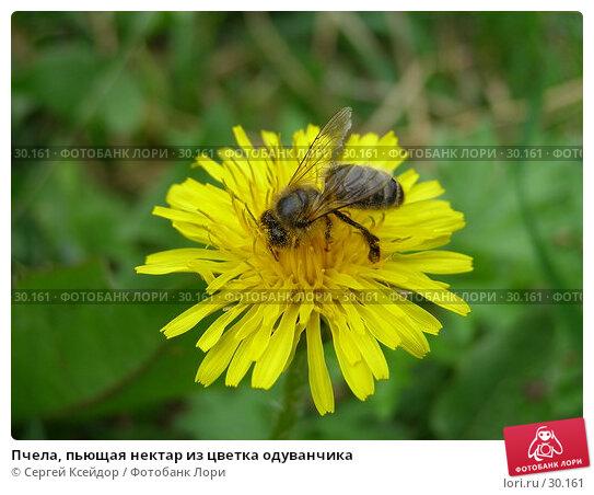 Пчела, пьющая нектар из цветка одуванчика, фото № 30161, снято 28 мая 2006 г. (c) Сергей Ксейдор / Фотобанк Лори