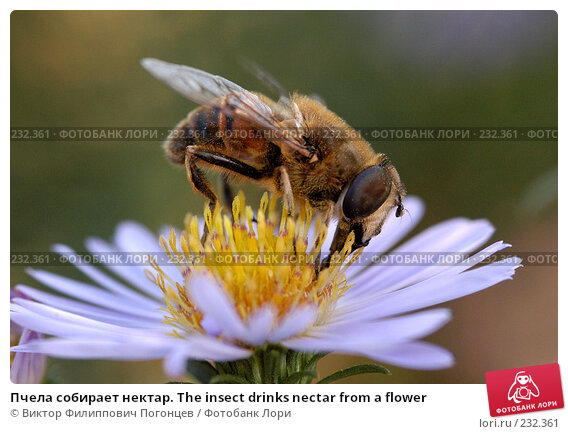 Пчела собирает нектар. The insect drinks nectar from a flower, фото № 232361, снято 27 сентября 2005 г. (c) Виктор Филиппович Погонцев / Фотобанк Лори