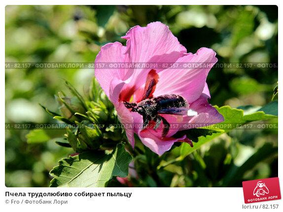 Пчела трудолюбиво собирает пыльцу, фото № 82157, снято 26 мая 2017 г. (c) Fro / Фотобанк Лори
