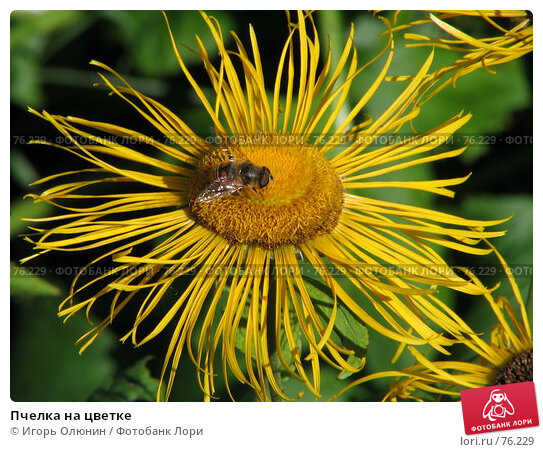 Пчелка на цветке, фото № 76229, снято 19 августа 2007 г. (c) Игорь Олюнин / Фотобанк Лори