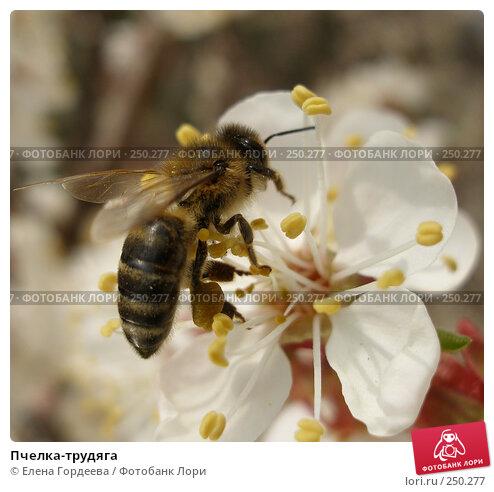 Пчелка-трудяга, фото № 250277, снято 28 марта 2017 г. (c) Елена Гордеева / Фотобанк Лори